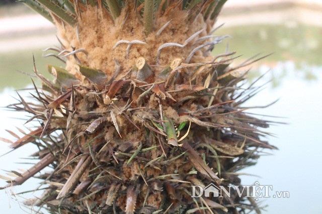 Trung bình mỗi đợt cô Nguyễn Thị Ngoan cắt tỉa hàng trăm lá vạn tuế để bán. Trung bình mỗi cây vạn tuế cắt 1 vanh (1 vanh khoảng 50-60 lá).