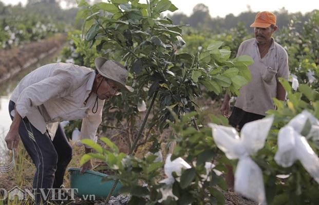 Bỏ lúa, trồng ổi lê Đài Loan, thu 30 triệu/tháng - 4