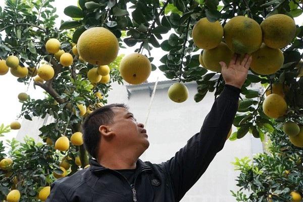 """""""Thuần hóa"""" bưởi cổ chưng Tết, nông dân Hưng Yên kiếm trăm triệu đồng - 4"""