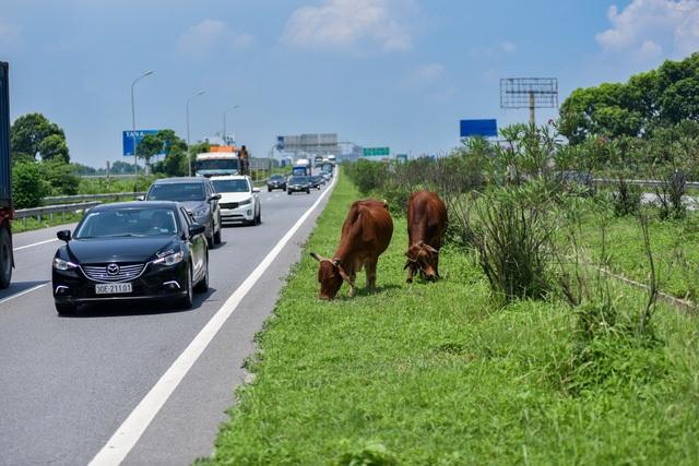 Gia súc nhở nhơ gặm cỏ ngay trên cao tốc. Ảnh: Toàn Vũ.