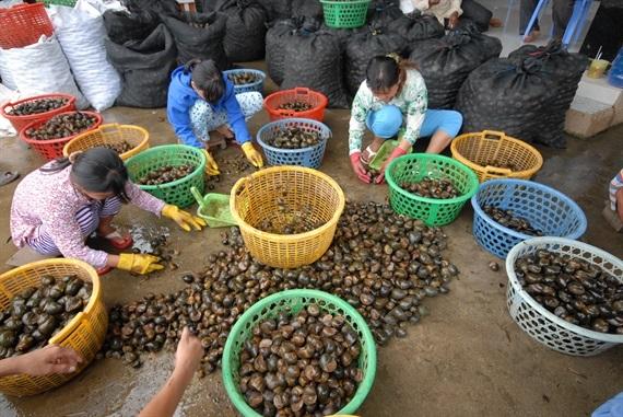 Theo bà Lượm, sau một chuyến đánh bắt phân loại ra ốc bươu vàng bán cho những người nuôi cá hoặc nuôi vịt. Còn ốc lát, ốc bươu, ốc sen bán cho người ăn