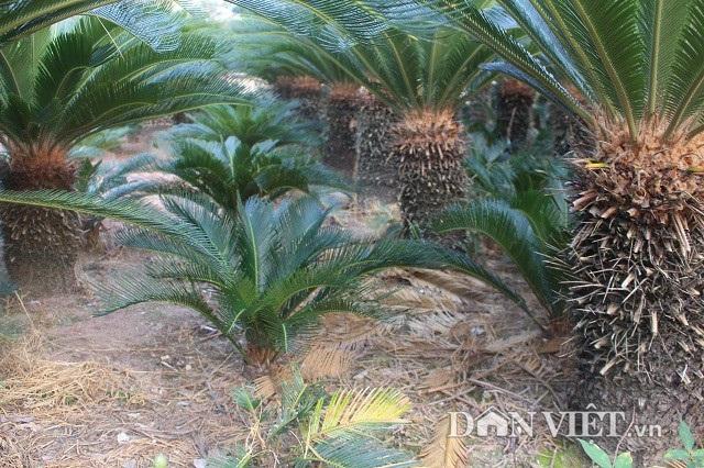 Theo cô Nguyễn Thị Ngoan, do vạn tuế là cây lâu năm mới được thu bán nên cô trồng xen các cây vạn tuế bé dưới các hàng cây vạn tuế lớn.