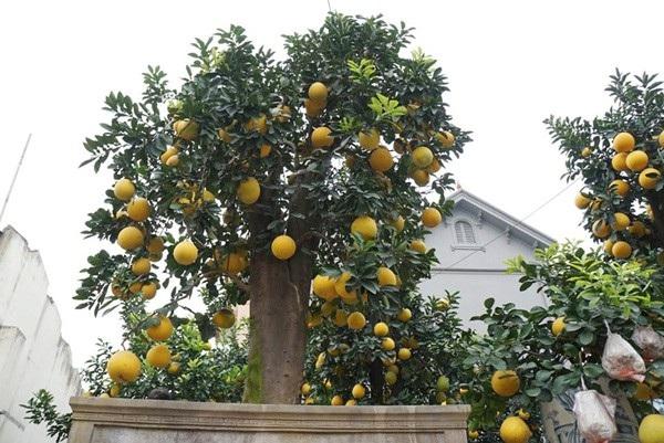 Cận cảnh một cây bưởi cổ sai trĩu quả đã được anh Mến bán cho khách với giá trên 100 triệu đồng.