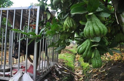 Do phật thủ có giá trị kinh tế cao nên người dân nơi đây phải làm rào cẩn thận và nuôi chó để trông giữ vườn cây.