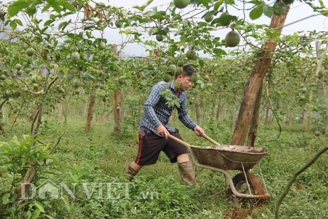 Hối hả thu hoạch chanh leo kiếm tiền sắm Tết - 8