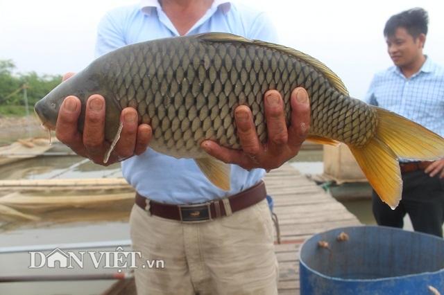 Chơi sang cho cá chép ăn đậu Úc, nông dân Thái Bình thu tiền tỷ - 6