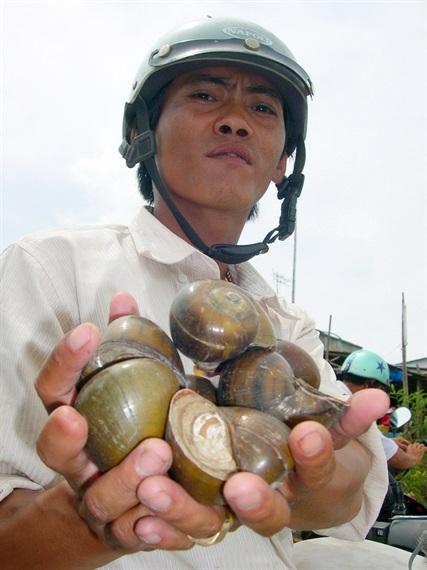 Hiện nay giá 1kg ốc bươu vàng từ 600 -800 đồng/kg, còn ốc lát giá 22.000 đồng/kg, ốc bươu giá 15.000 -18.000 đồng/kg nhưng được tiêu thụ mạnh các quán ăn ở thành thị