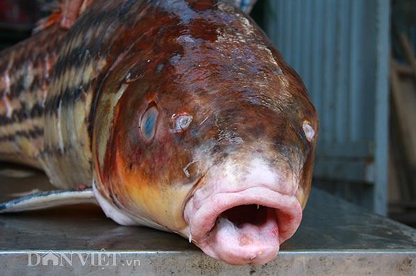 Cá sọc dưa (cá trà sóc hay Sihanouk) thường có hai loại chính là cá sọc dưa vàng và cá sọc dưa đen. Cá sọc dưa vàng quý hiếm và ít thấy hơn cá sọc dưa đen.
