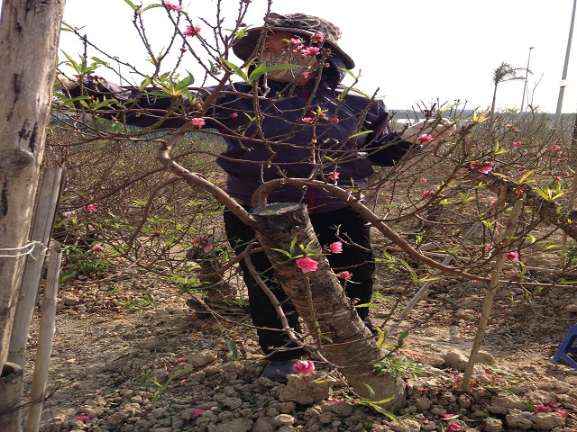 Bà Vân tỉa lá, hoa đào để cố vớt vát lại những cành đào đã ra hoa
