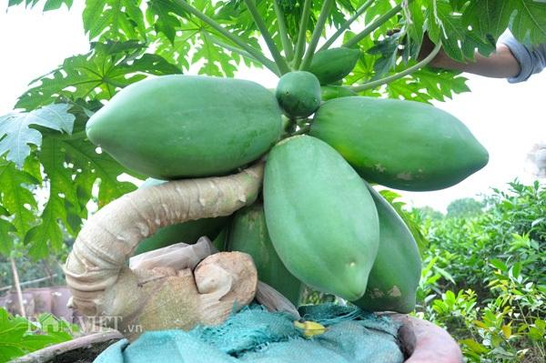 Cận cảnh một chậu đu đủ bonsai được ông Thanh chăm sóc, tạo tán rất đẹp mắt.