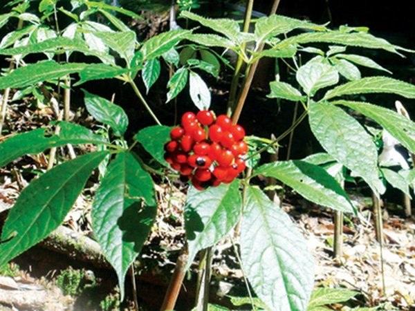 Vườn sâm trồng và hạt sâm màu đỏ - loại thức ăn loài chuột núi ở Ngọc Linh rất thích
