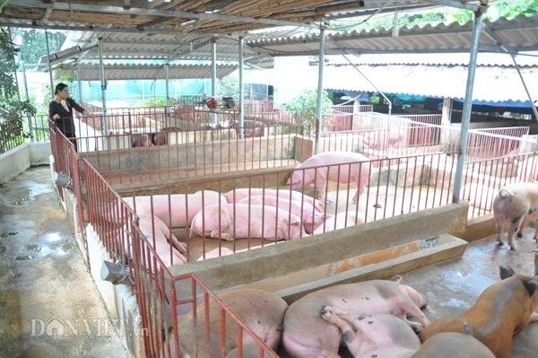 Các chuồng nuôi lợn được bà Liên thiết kế nửa kín, nửa hở, vừa giúp đàn lợn ấm áp vào mùa đông, mát mẻ sưởi nắng ấm vào mùa hè.
