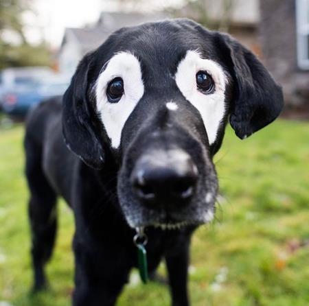 Rowdy là một chú chó 14 tuổi, thuộc giống Labrador
