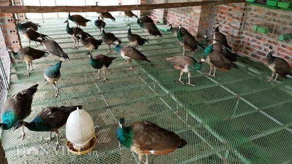 Cận cảnh một chuồng nuôi chim công tại trang trại của anh Quỳnh ở Hải Dương.