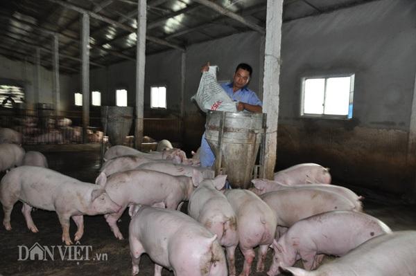Ông Hoàng Văn Điền đổ cám cho đàn lợn ăn tại trang trại của gia đình ở huyện Yên Mô (Ninh Bình).