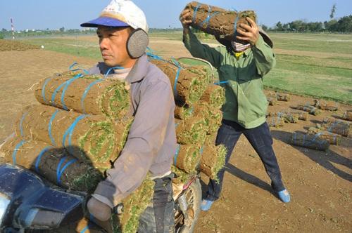 Nghề lạ: Thực hư chuyện trồng cỏ kiếm bộn tiền ở Điền Xá - 1