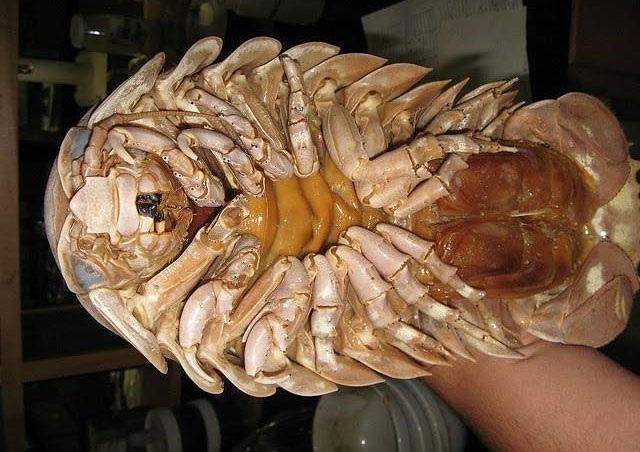 Bọ biển có hai hàng chân với móng vuốt sắc nhọn nhìn khá ghê rợn