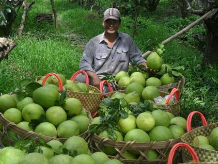 Thương lái Trung Quốc đến ĐBSCL yêu cầu mua bưởi theo kiểu lạ đời (Trong ảnh, người dân thị xã Bình Minh, tỉnh Vĩnh Long thu hoạch bưởi). Ảnh: H.X