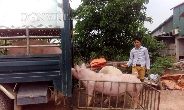 Vừa qua, báo Nông thôn ngày nay/Danviet phối hợp với các doanh nghiệp tiến hành thu mua lợn nuôi cho nông dân một số địa phương. Ảnh: Trần Dũng.