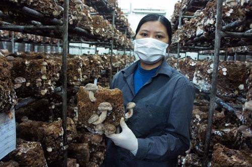 Kỳ công như người Nhật sản xuất nấm trên đất Tổ Phú Thọ - 1