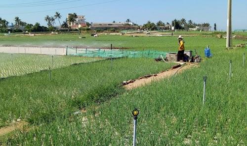 Hầu hết các hộ dân trồng tỏi, hành ở Lý Sơn (Quảng Ngãi) đều đã áp dụng công nghệ tưới tự động phun mưa.  Ảnh: V.T