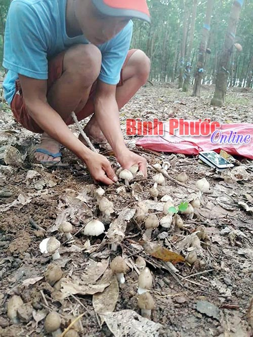 Võ Thành Hiếu nâng niu từng tai nấm mối trong vườn cao su ở xã Tân Hưng