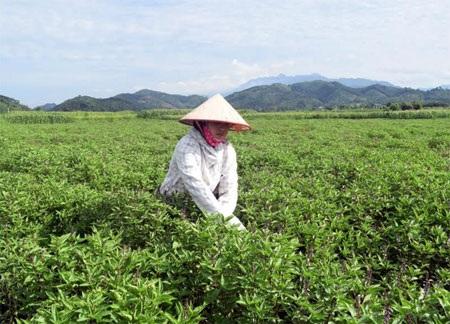 Lứa cây húng quế thứ hai của gia đình anh Hoàng Văn Ninh chuẩn bị cho thu hoạch.