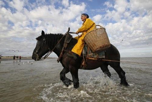Nghề lạ ở Bỉ: Cưỡi ngựa bắt tôm - 5