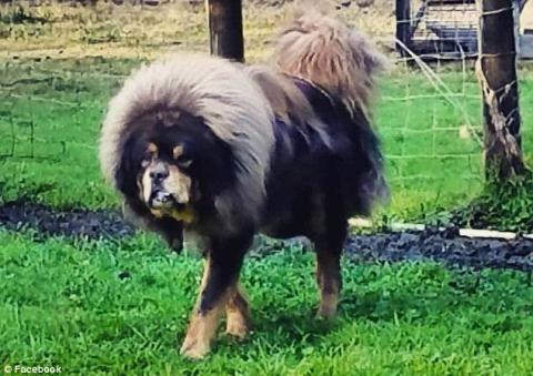 Những chú chó ngao Tây Tạng của nhà Karen Szewc bị kiện