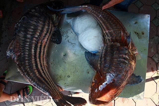 Hai con cá sọc dưa siêu khủng vừa được thương lái vận chuyển bằng đường hàng không về Thủ đô với trọng lượng lần lượt là 46kg đối với cá sọc dưa vàng và 37 kg với cá sọc dưa đen.