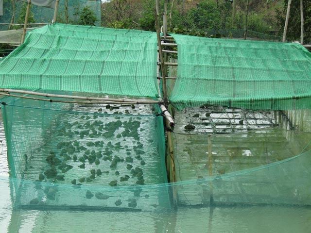Vèo nuôi ếch có mắc mùng được anh Trạng thiết kế ở trên mặt nước, phía dưới là ao nuôi cá trê vàng lai. Ảnh: Phan Thị Anh Thư.