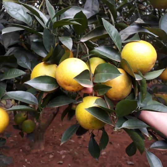 Vườn cam nhà ông Thành, cây nào cũng trĩu quả, trái vàng ươm rất đẹp mắt.