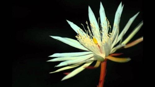 Loài hoa Kadapul