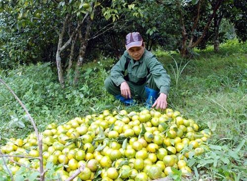 Ông Lưu Chấn Thụ rất phấn khởi với năng suất, chất lượng quýt đặc sản Quang Thuận vụ thu hoạch năm 2017. ảnh: Hồng Chiêm