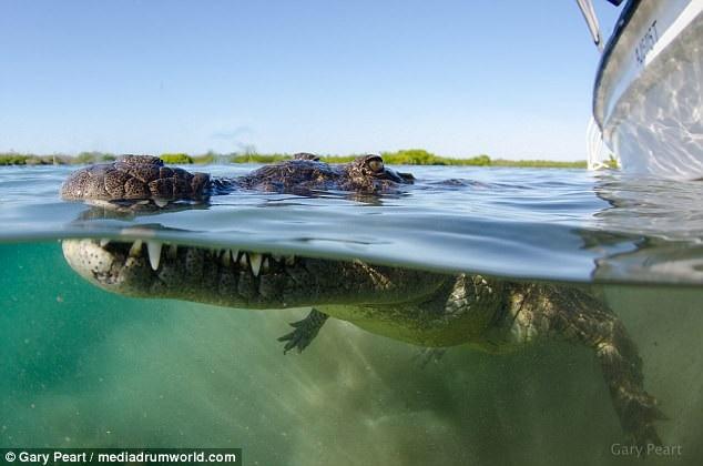 Liều lĩnh bơi sát cá sấu 3m để chụp ảnh cho nét - 3