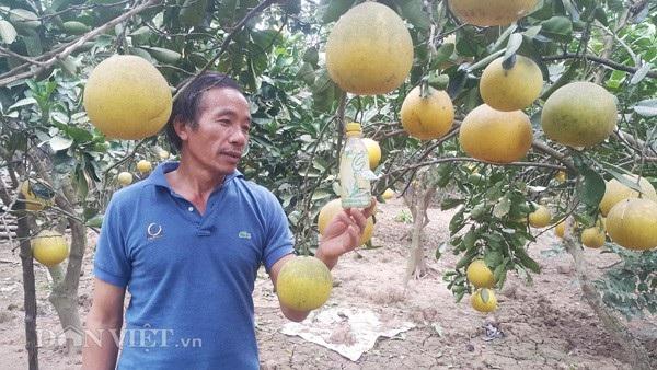 Để sản phẩm bưởi ăn toàn khi bán cho khách, trong quá trình trồng, ông Thụ luôn dùng các biện pháp sinh học như đặt bẫy đèn, bả... để diện trừ sâu, bệnh cho bưởi tại vườn của gia đình.