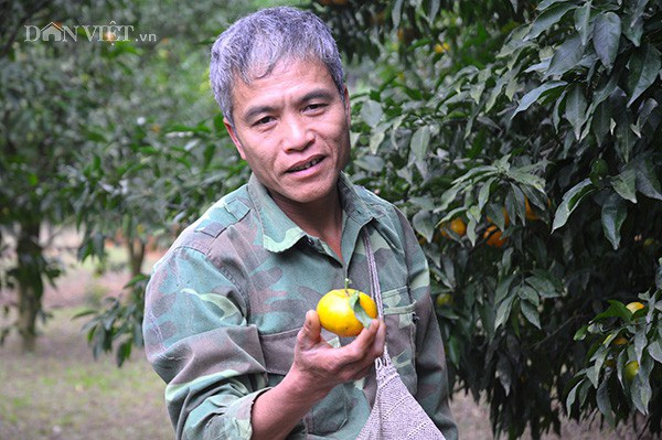 Quýt vàng nổi tiếng đặc sản Bắc Sơn  do nhà ông Dương Hữu Đoan trồng rất được nhiều người ưa chuộng.