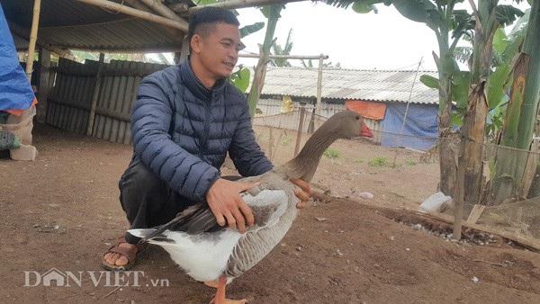 """Anh Nguyễn Văn Toản kiểm tra sức khỏe ngỗng trời chuẩn bị bán cho các """"thượng đế"""" ăn tết và biếu Tết."""