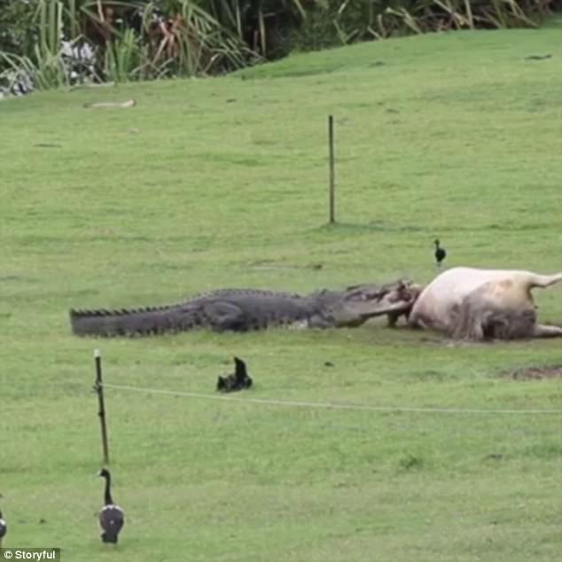 Con cá sấu dài tới 4 mét.