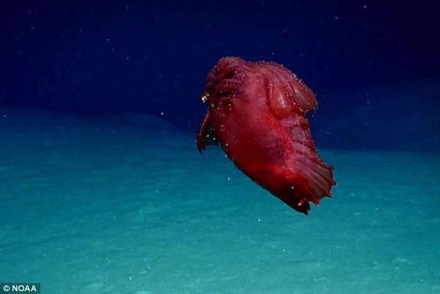 Sinh vật kỳ lạ được ví với quái vật biển sâu không đầu.
