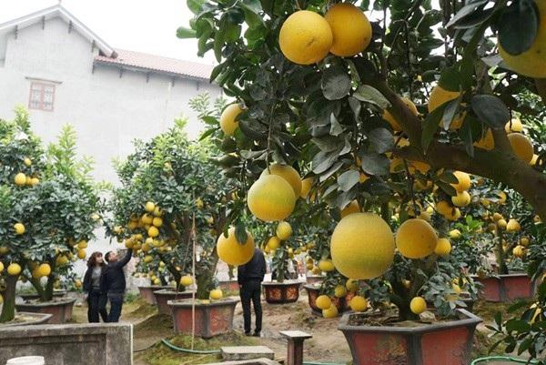 """""""Thuần hóa"""" bưởi cổ chưng Tết, nông dân Hưng Yên kiếm trăm triệu đồng - 1"""