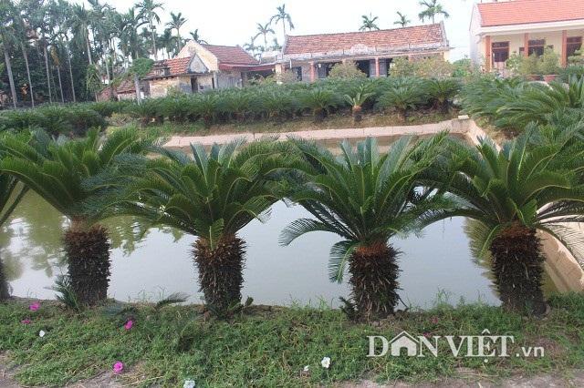 Cô Nguyễn Thị Ngoan trồng vườn vạn tuế xung quanh ao để tiện tưới tắm, chăm sóc.