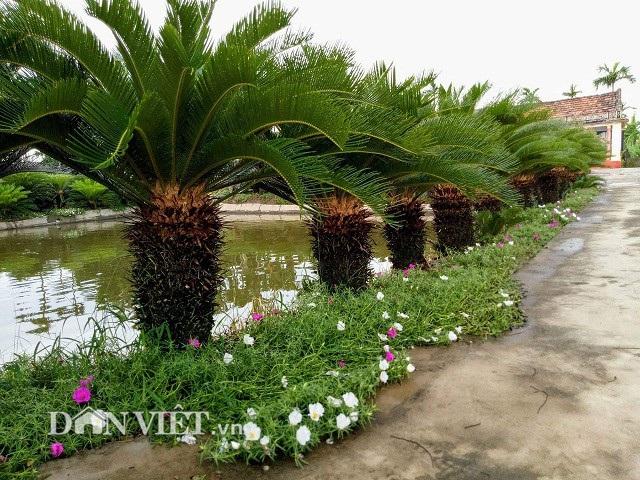 Vốn yêu thích hoa, cây cảnh, nên dưới mỗi hàng vạn tuế, cô Nguyễn Ngoan còn trồng thêm các loại hoa mười giờ rực rỡ.