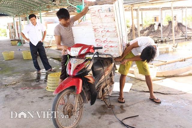 Cá bống bớp thương phẩm được đóng thùng xốp có đục lỗ thông thoáng rồi vận chuyển cho khách.