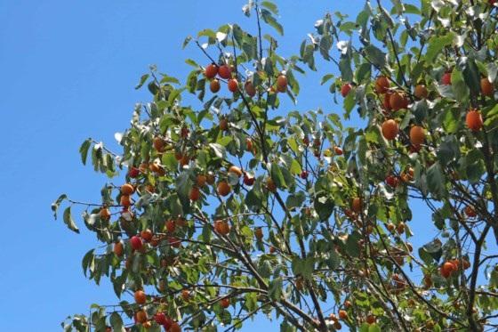 Vắt vẻo trên cây hồng cao 7m, trèo hái 2 tạ quả/ngày ở Đà Lạt - 9