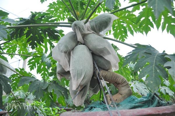 Ông Thanh dùng các túi bao trái cho các quả trên các chậu nhằm giữ cho quả đẹp mã, hạn chế sâu bệnh, sương muối... tấn công.