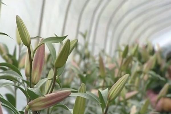 Hoa ly nở sớm khiến người trồng không khỏi sót xa
