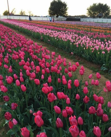 Mỹ: 7 cánh đồng hoa tulip không nên bỏ qua trong mùa xuân này - 3