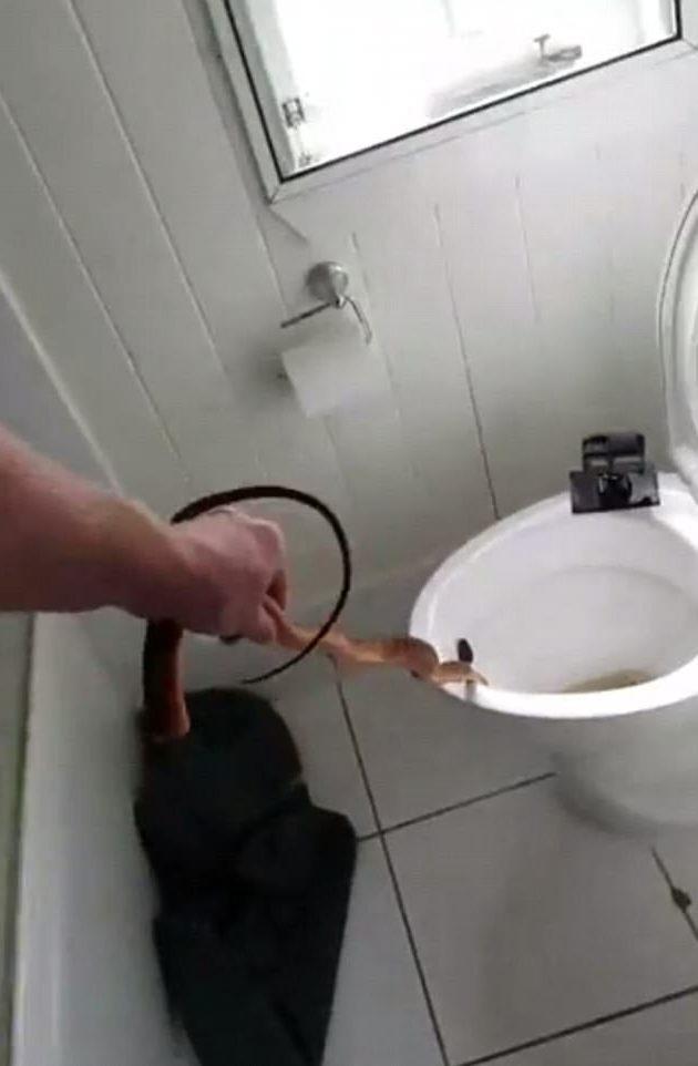 Chú rắn bị người bắt nhét vào túi đựng để mang đi