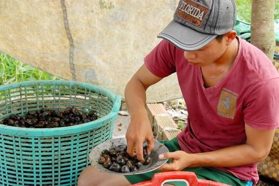 Anh Lê Quang Đủ, bán ốc trên quốc lộ 91B, ở quận Ô Môn, TP. Cần Thơ cho biết: Bình quân một ngày mua  khoảng 60kg ốc của các người dân đi bắt, để bán cho những người đi đường. Mỗi kg anh lời từ 5.000 – 10.000 tùy theo loại ốc
